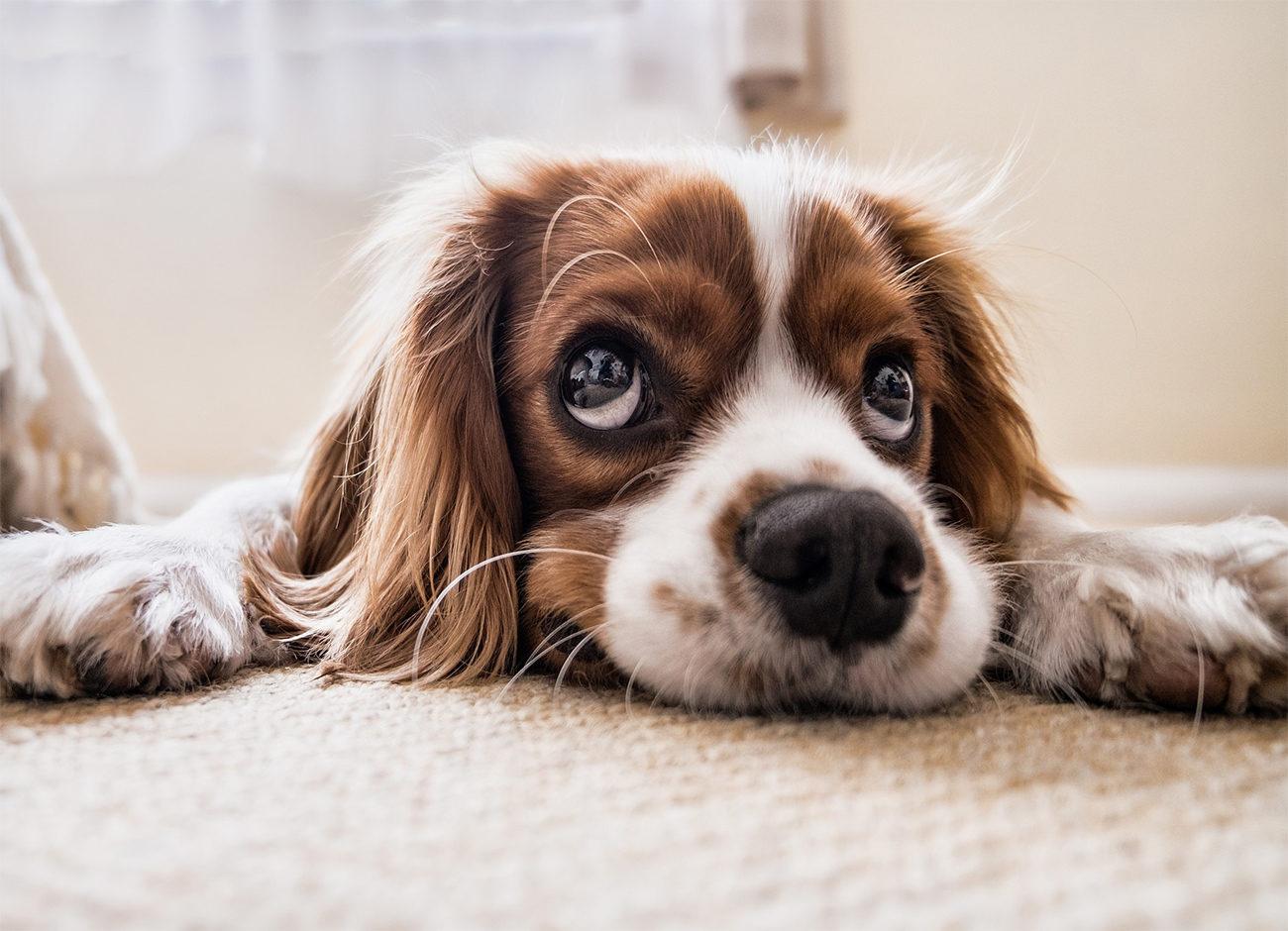 Dog with sad eyes laying on the carpet