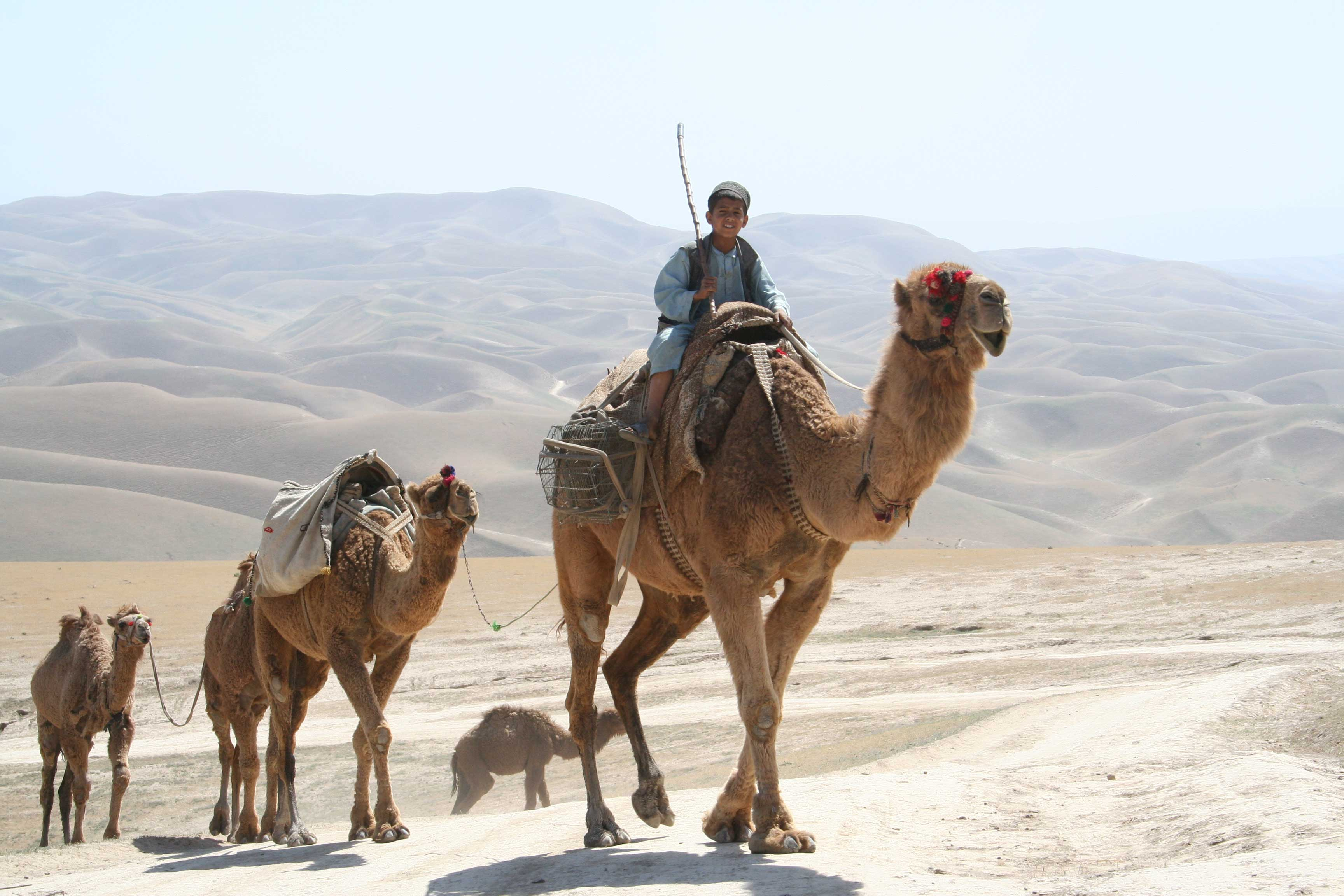 A Kuchi boy leads his herd of camels through the Afghanistan desert.