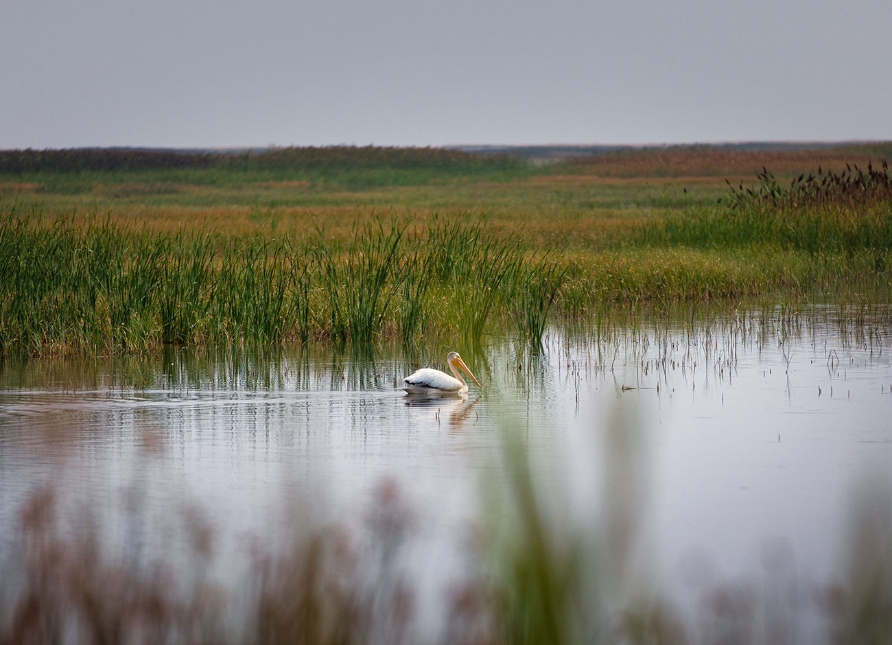 An American White Pelican forages in a marsh