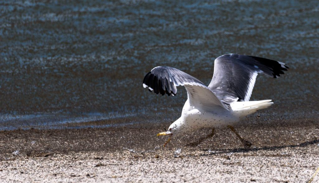 sea gull along the Salt Lake shore walking with its mouth open amongst hundreds of thousands of brine flies.