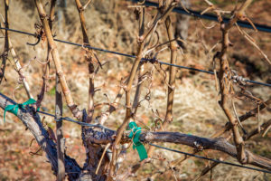 Close up of vines with vertical shoots growing in Mark Bold's Dammeron Valley Vineyard.
