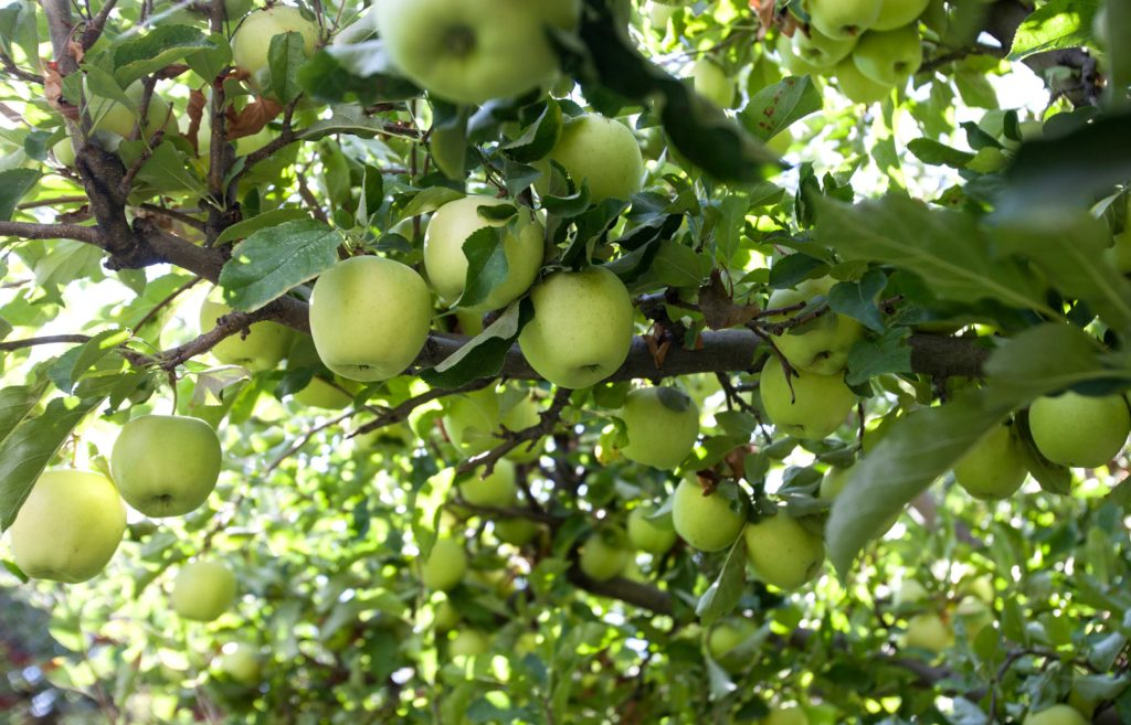 green apples hang from a tree.