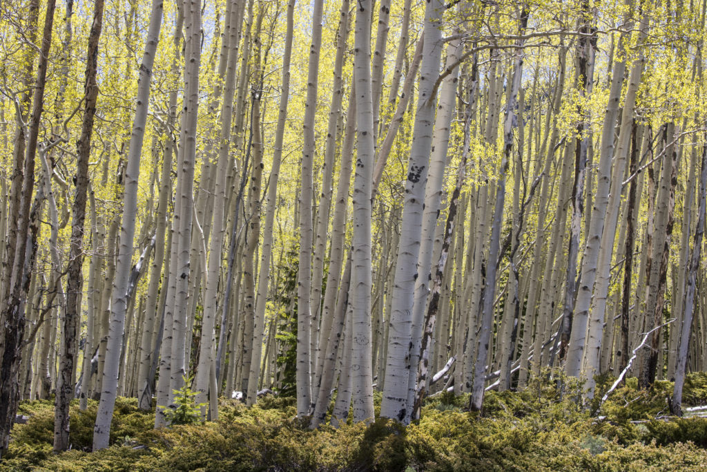 Tall aspen stems with gold leaves.