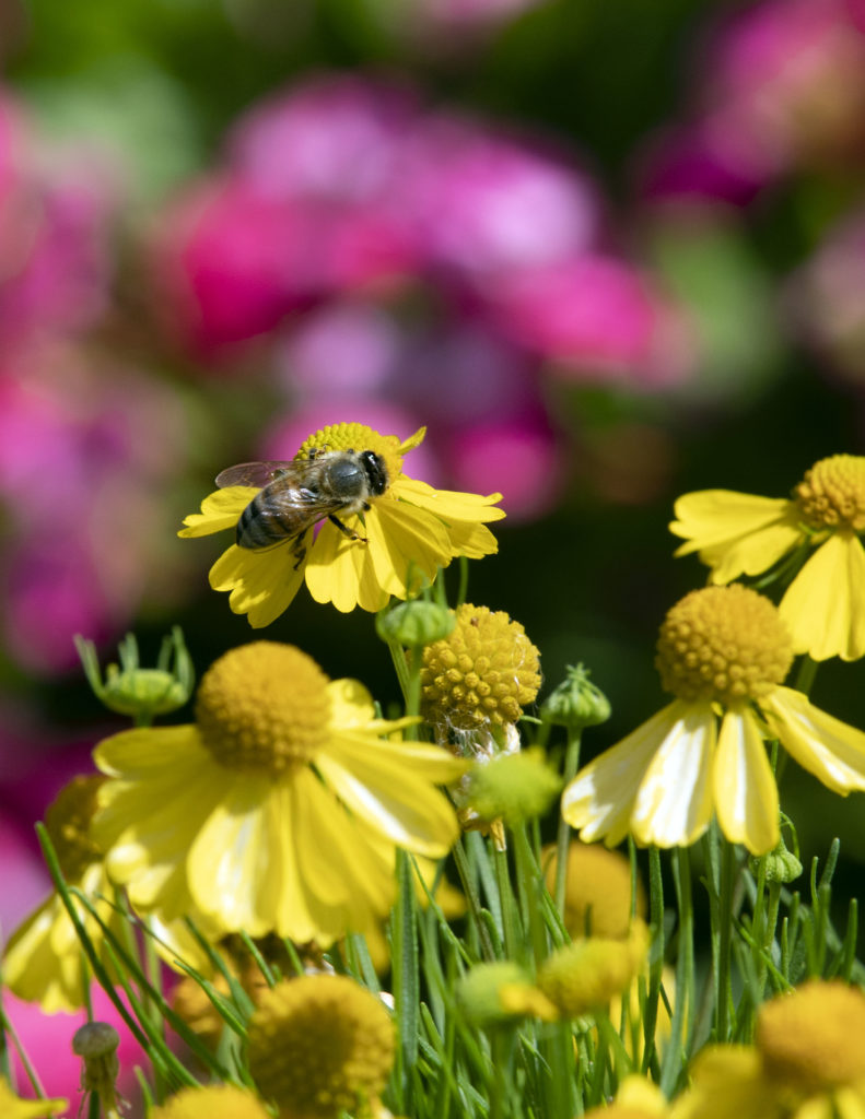 a bee pollinates a yellow flower