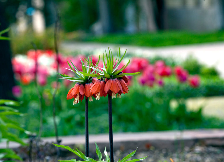 a group of pink crown imperial flowers in a flowerbed