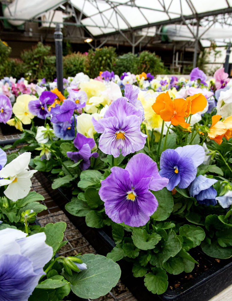pansies in a greenhouse