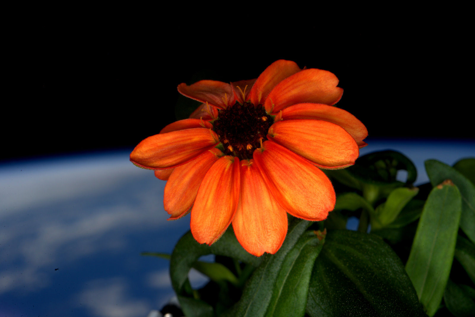 a bright orange zinnia grown on the ISS with the earth in the background