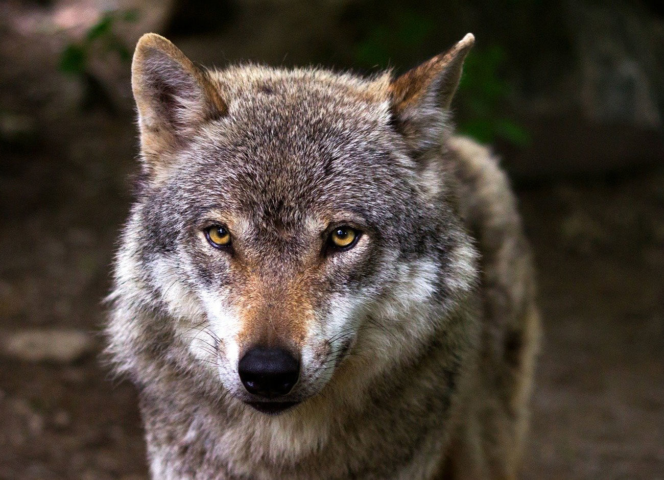 a close up photo of a gray wolf