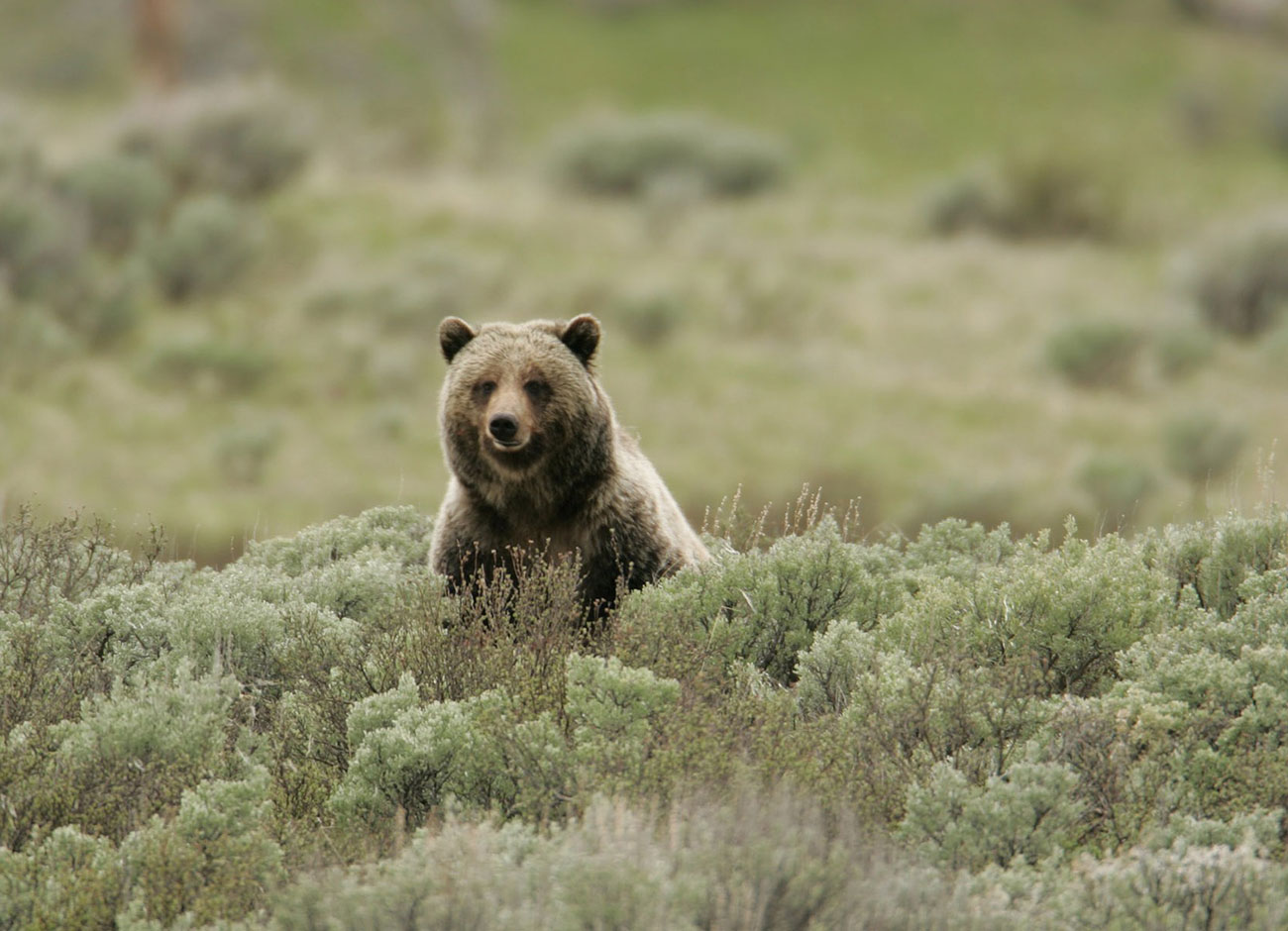 grizzly bear in a patch of sage brush