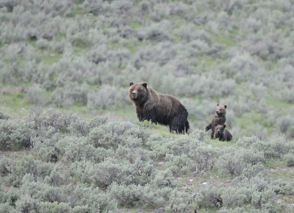 grizzly in the sage brush with her two cubs
