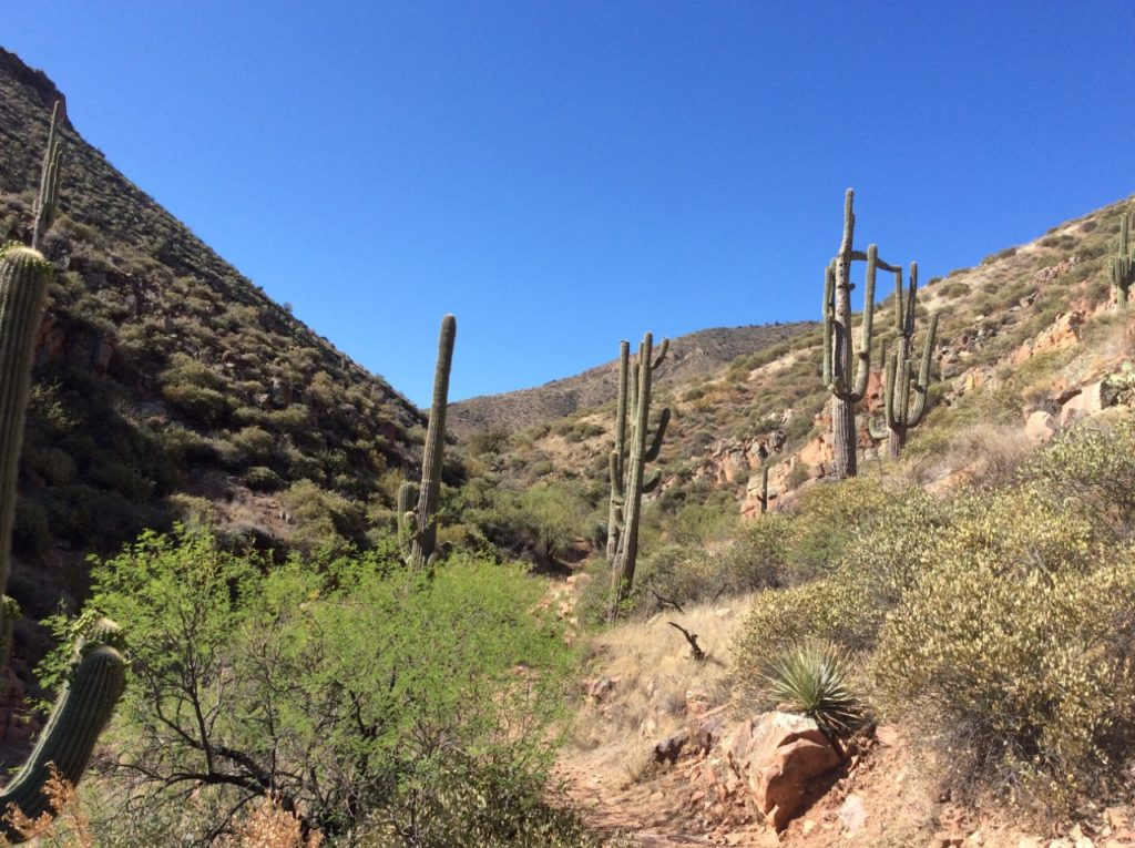 Saguaro cactus dots the landscape of Tonto National Monument.
