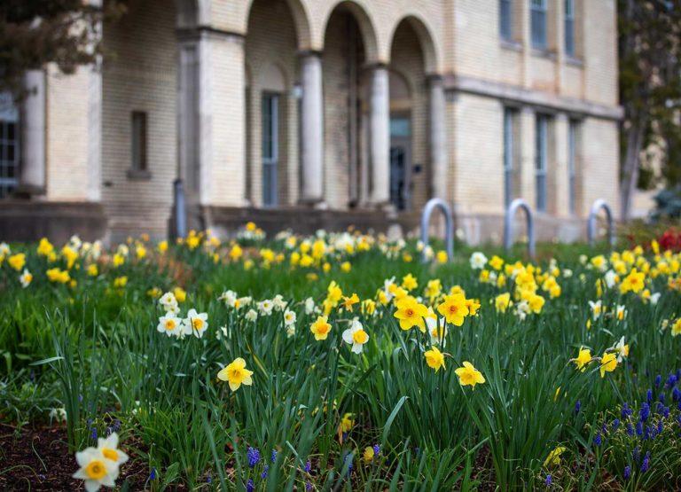 daffodils bloom on an empty campus