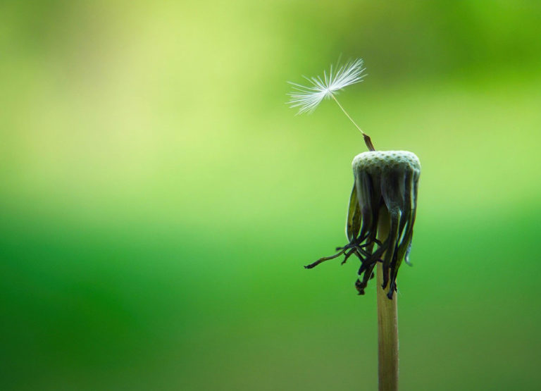 a dried dandelion with one final seed attached.