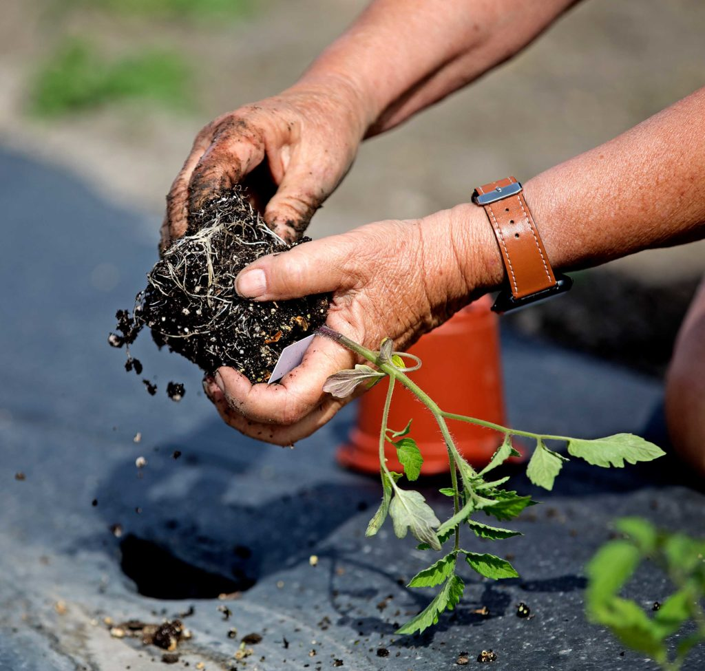 close up of a gardeners hands planting a tomato plant