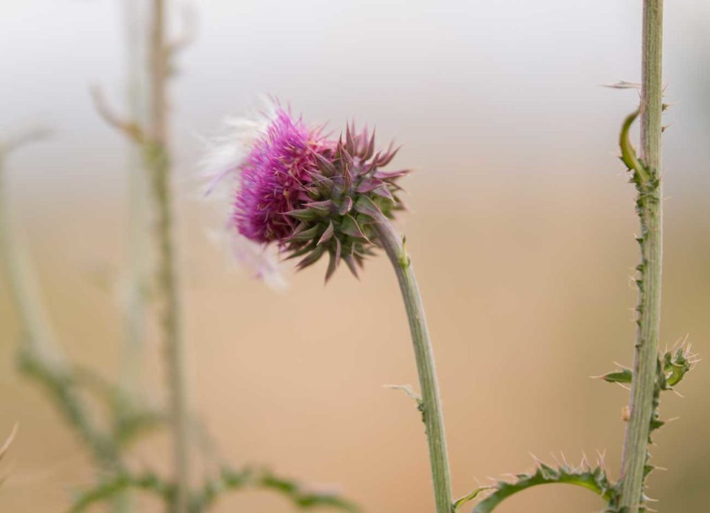 a purple thistle at the end of its life